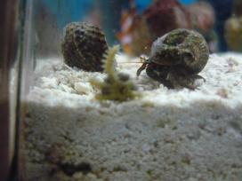 Hermit crab investigating the starfish